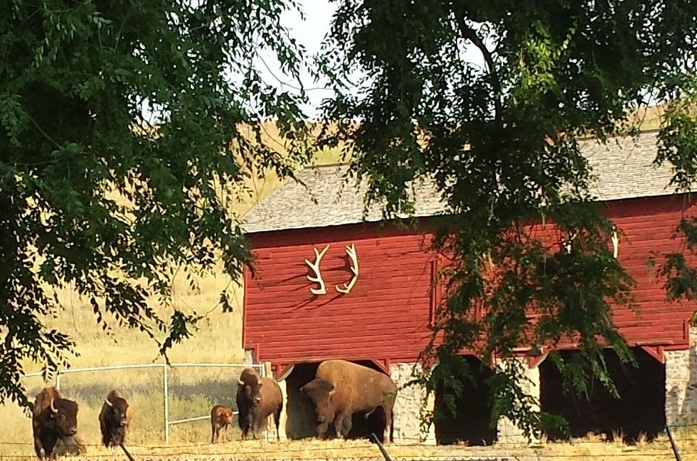 Sheridan Town Buffalo